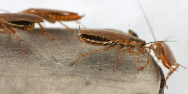 Как вывести тараканов из квартиры